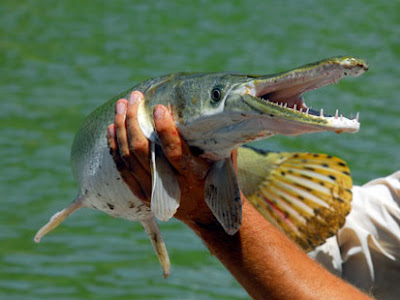 Alligator Gar Pictures