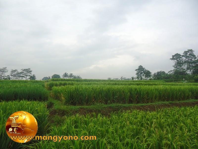 FOTO : Tanaman padi yang terkena hama beluk atau penggerek batang