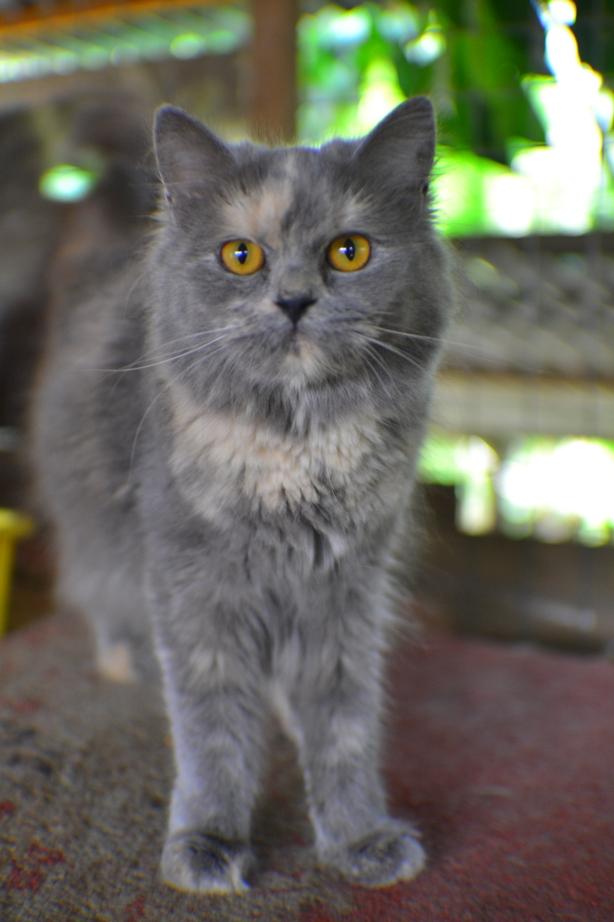 Ali Pancing Anak Kucing Parsi Untuk Di Jual