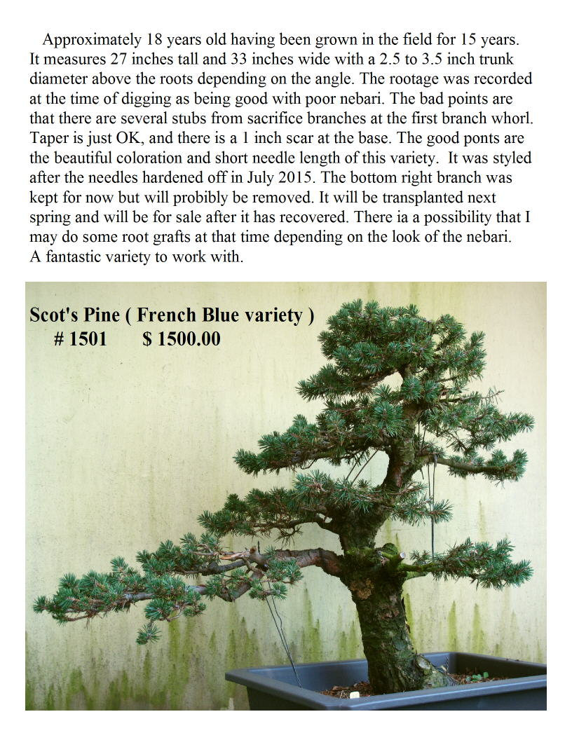 French Blue Scot's Pine #1501