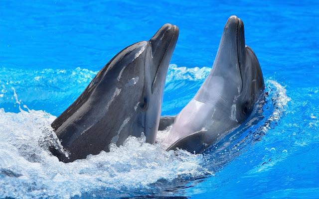 Imágenes de Parejas de Delfines Nadando - Fotos de Delfines