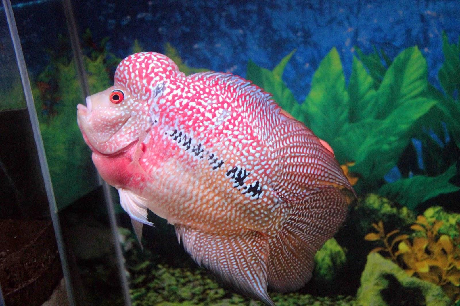 gambar foto Ikan louhan