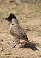 Burung Genthilang, ketilang