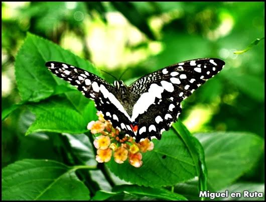 Cola de Golondrina (Papilio Demoleus)
