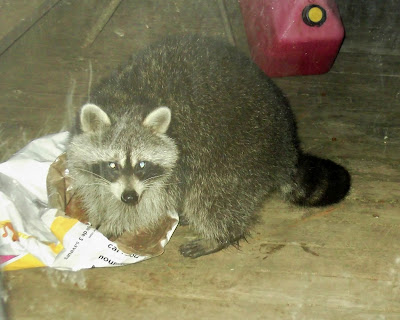 Racoon eating cat food
