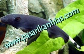 Ternak Budidaya Ikan Black Ghost
