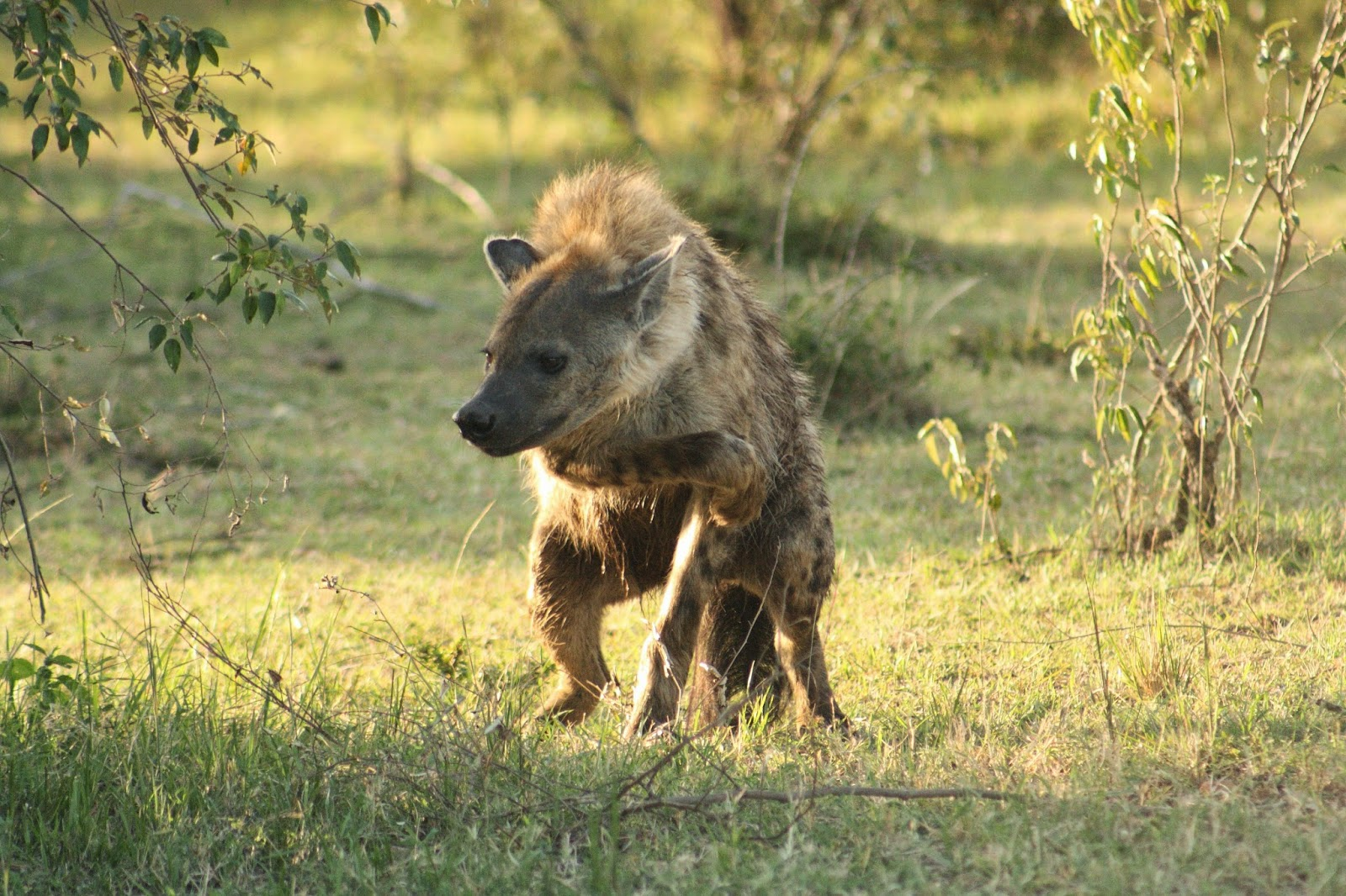 male hyena Gallery