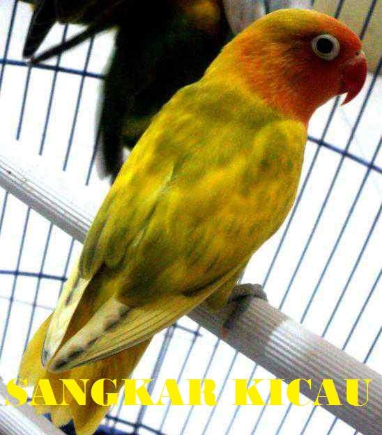 Sangkar Kicau LOVEBIRD BLOROK KUNING