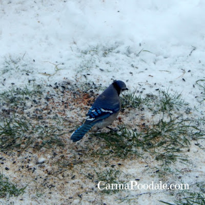 Blue Jay eating seed in the snow