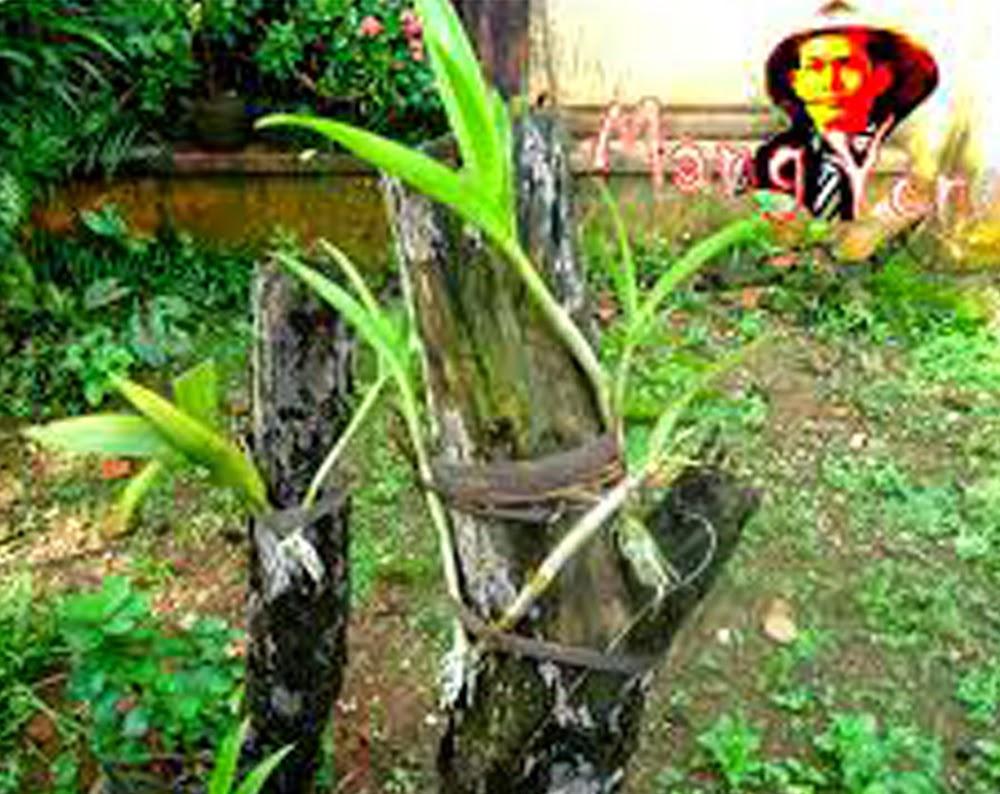 Cara Memilih dan memindahkan tanaman anggrek ketempat yang cocok untuk tanaman Anggrek,