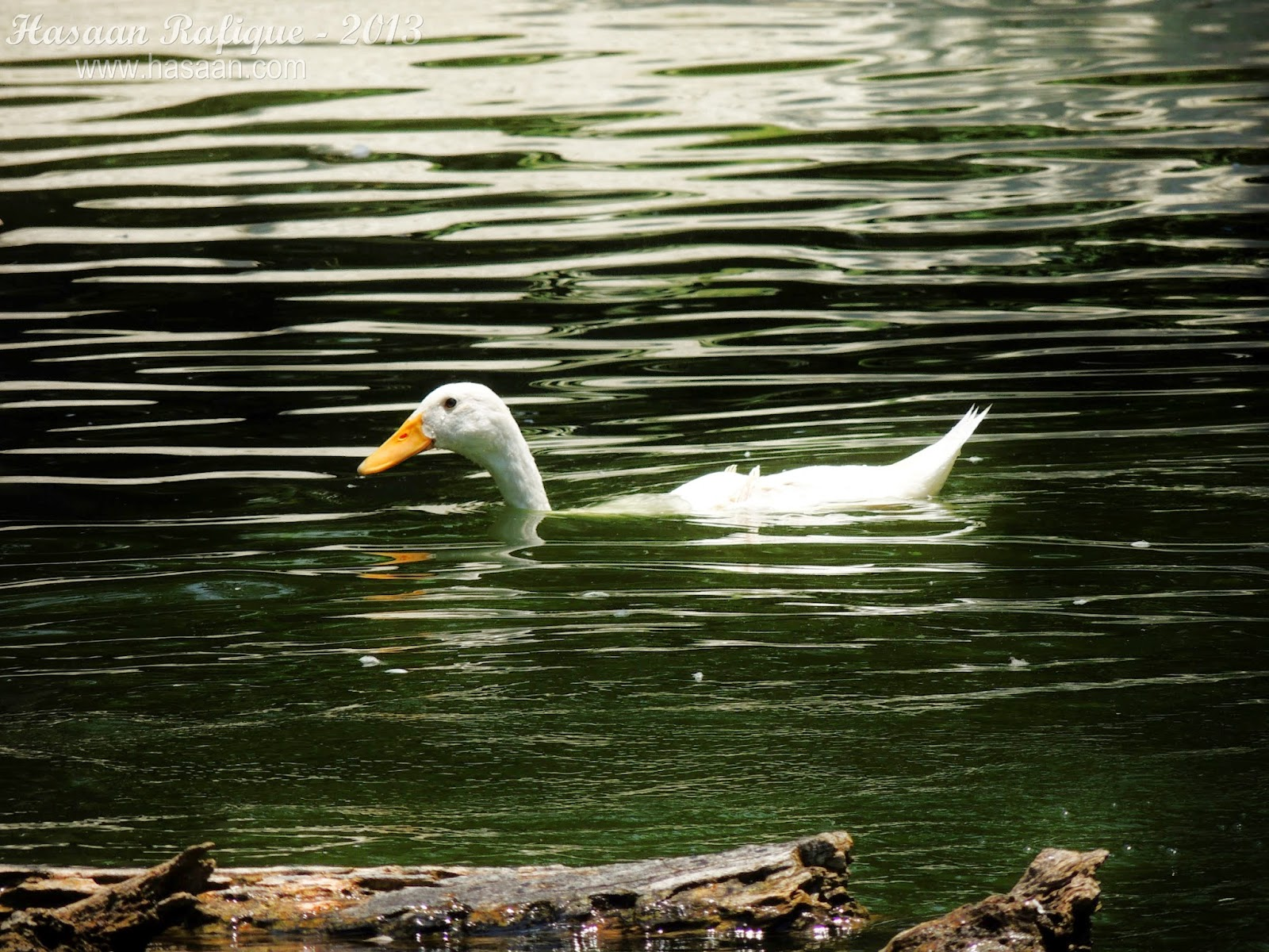 A duck swimming half-submerged in the water.