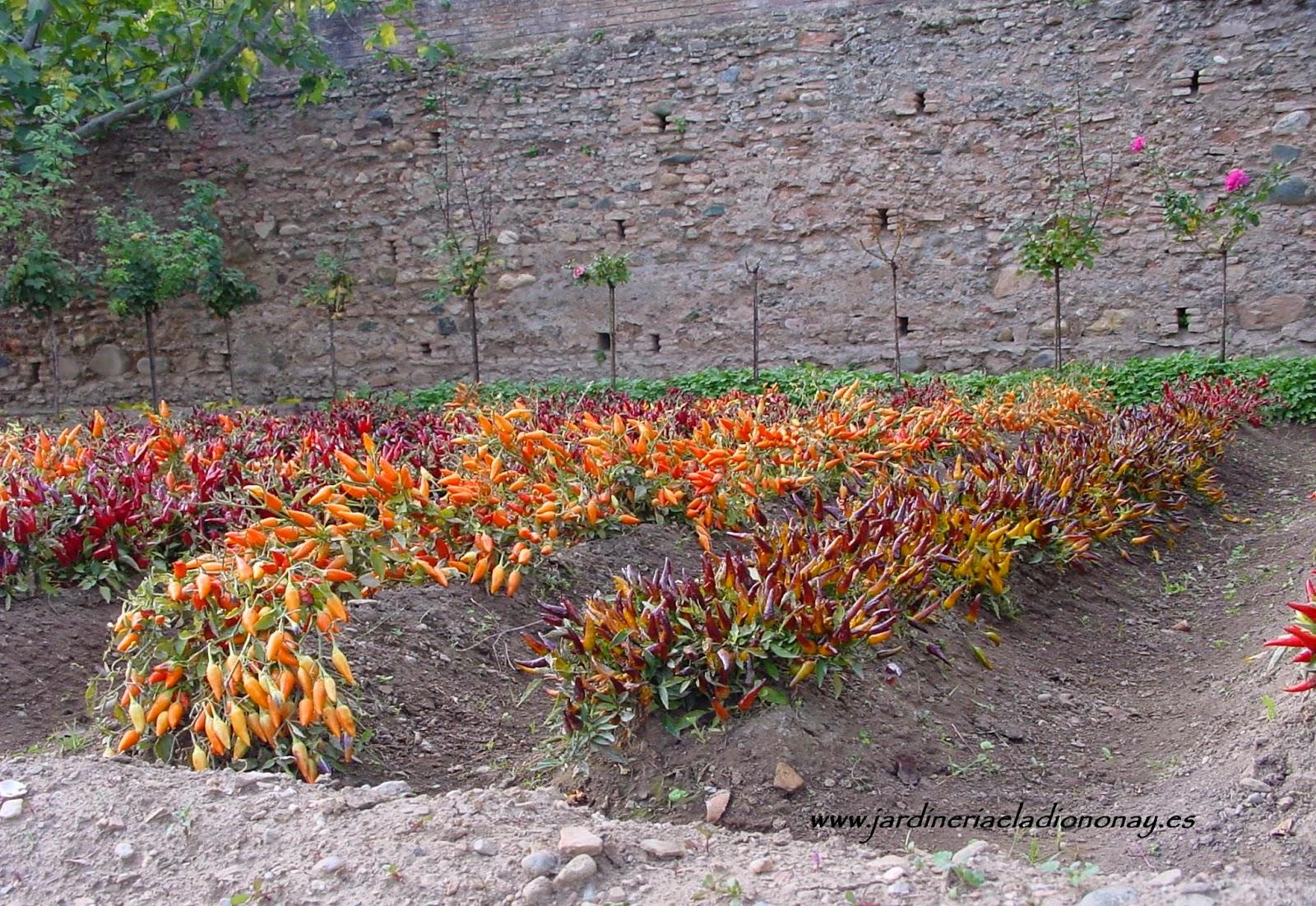 Jardineria eladio nonay capsicum annuum o guindilla - Jardineria eladio nonay ...