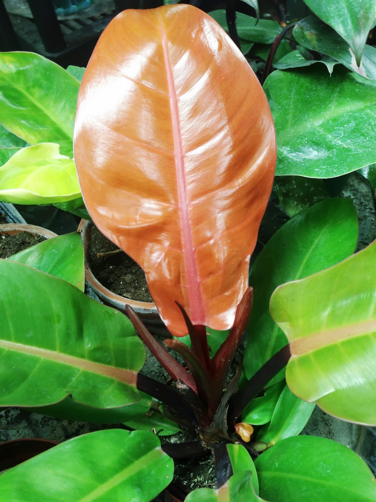 My Life of Plants: Prince of Orange Philodendron