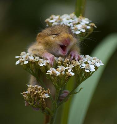 foto ratinho na flor
