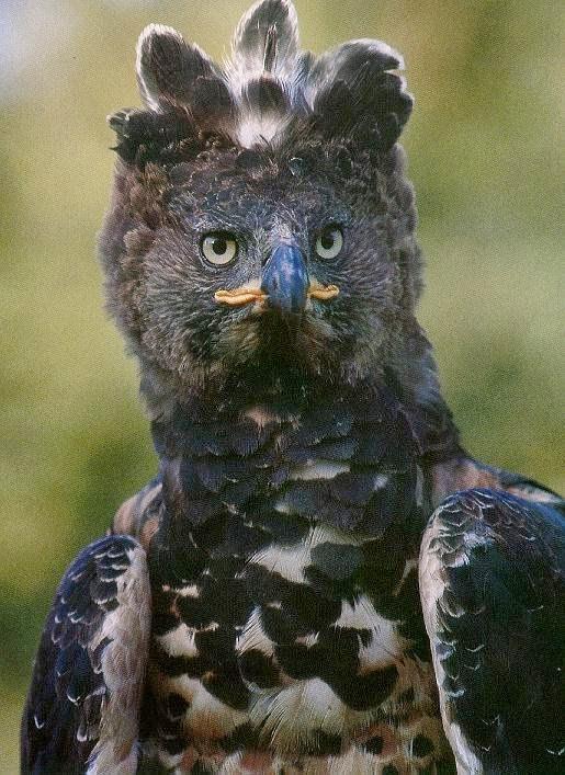 Águila Coronada Africana