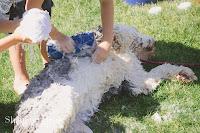 Shannon Hager Photography, Old English Sheepdog, Dog Wash