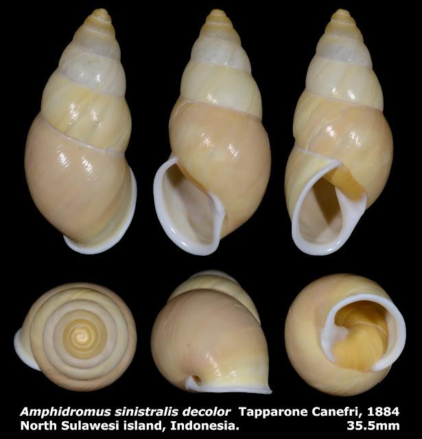 Amphidromus sinistralis decolor 35.5mm
