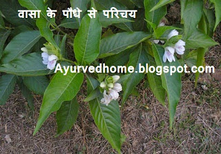 Vasa Paudha in Hindi,  वासा का पौधा , Introduction to Vasa Plant