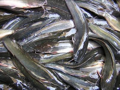 Gambar Ikan Lele