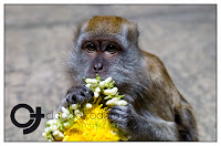 Monkey at Batu Caves in Malaysia by Claudio Todaro