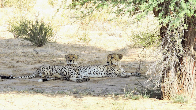 Resting Cheetahs in the Kgalagadi Transfrontier Park