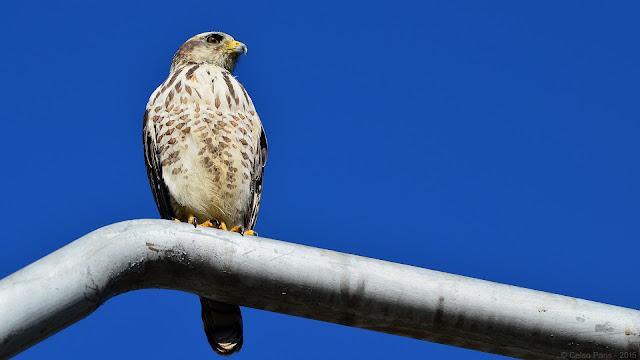 Roadside Hawk immature Rupornis magnirostris magniplumis Gavião-carijó Taguató Común