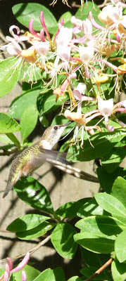 hummingbird. honeysuckle. pixappeal photography. carlas victorian heirlooms.