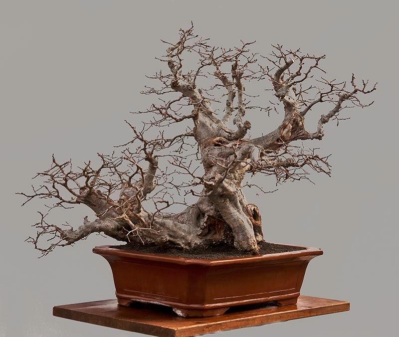 walter pall bonsai articles der m rchenstil german. Black Bedroom Furniture Sets. Home Design Ideas