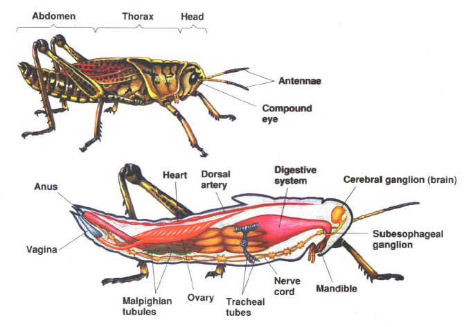 Anatomi insecta