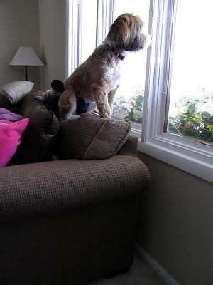 Čekajući na prozoru svoje vlasnike! - Page 2 Looking+out+window%252C+soe+and+tibby%252C+private+lesson+003