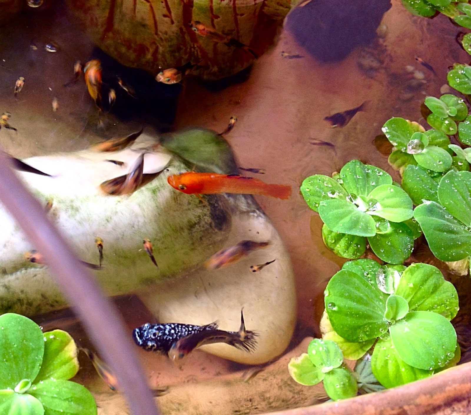 Secret spices how to stop crows from fishing in my fish pond for My fish stop
