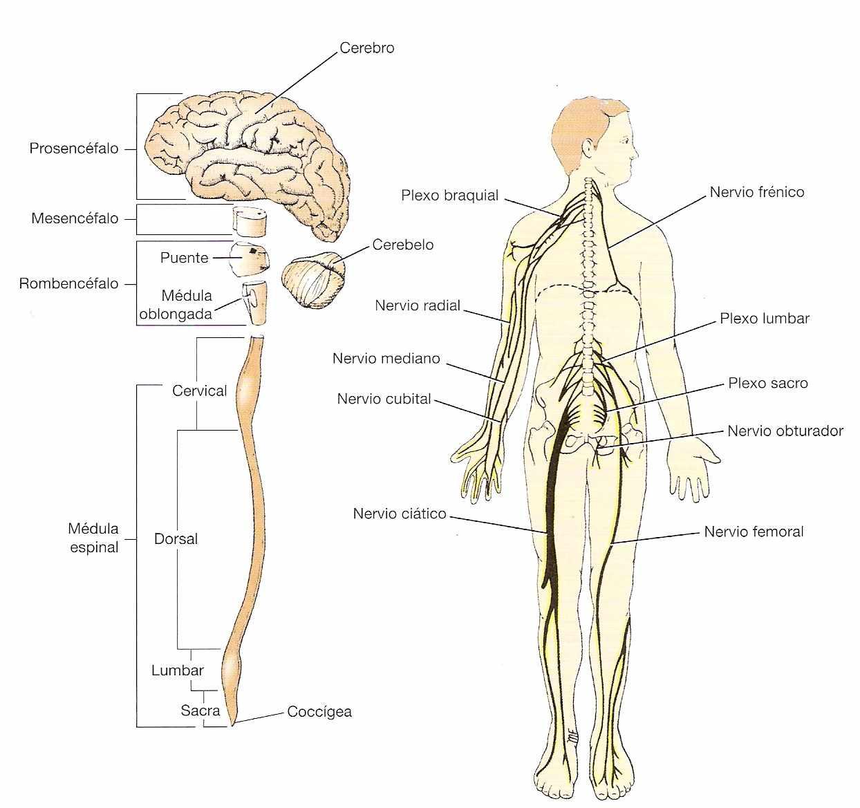 Sistema nervioso en los vertebrados   Ciencias Naturales