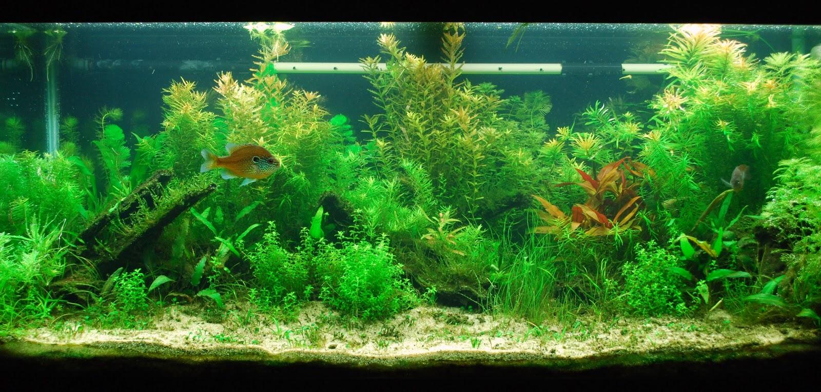 Combining Elements Of AmanoTakashiu0027s Nature Aquarium, Diana Walstadu0027s  Natural Planted Aquarium, And The Japanese Igwami Styles I Create Focussed  Aquascapes ...