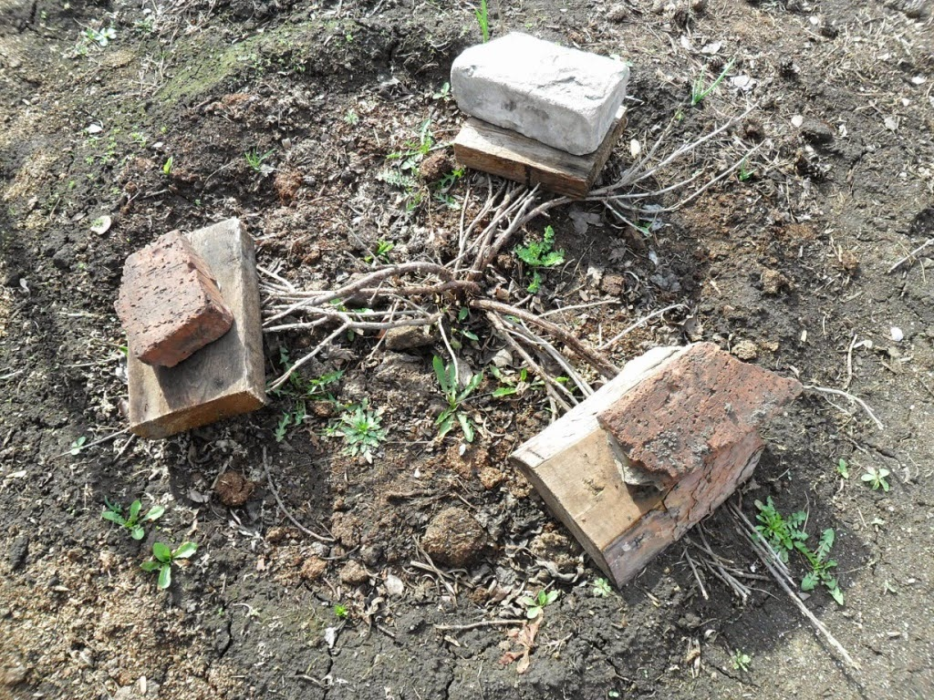 Прижатые к земле ветви молодого куста смородины