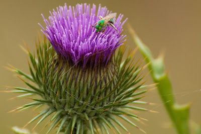 Green fly on thistle