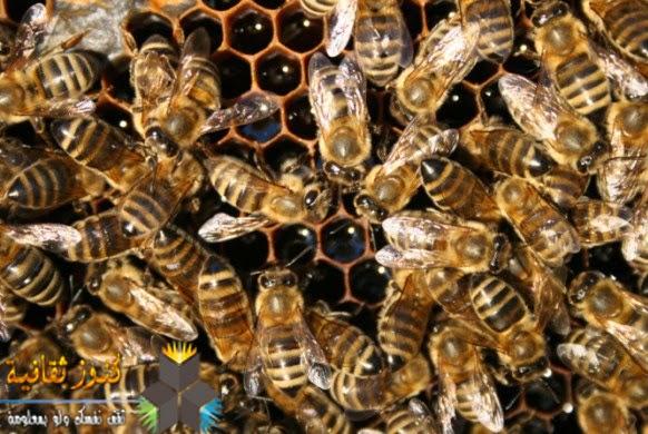 الشغالات والمتعهدين بالحراسة من النحل