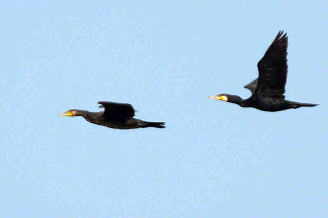 Great Cormorants, flying, birds, pair