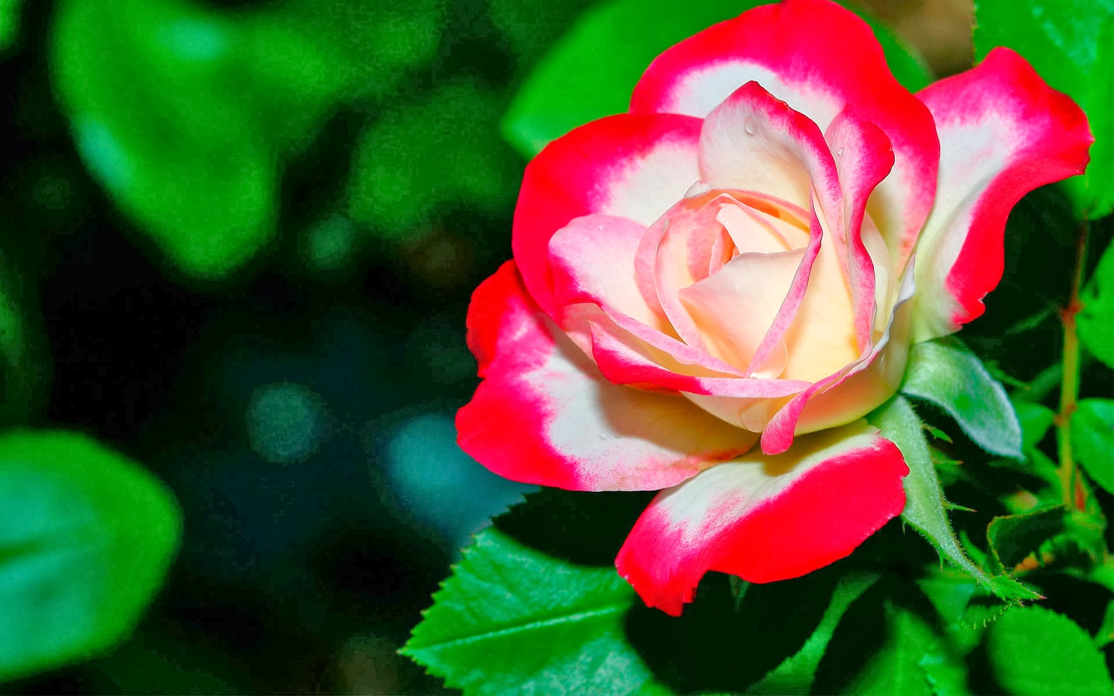 Hd wallpapers nature flowers rose