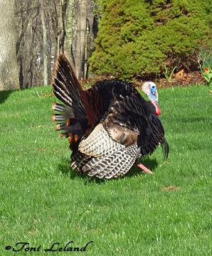 Wild Turkey Tom in New England by Toni Leland