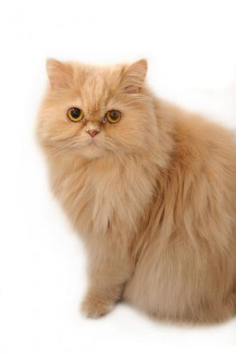 History of Persian Cats