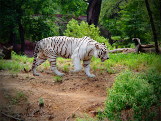 White tiger walking on rounds