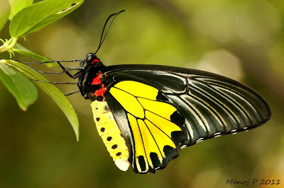 Southern Birdwing Butterfly - Troides minos Cramer