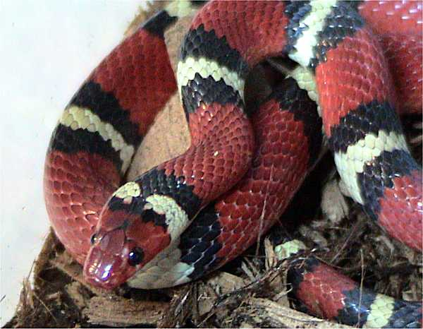 Lampropeltis triangulum elapsoides 19.+Scarlet+Kingsnake Amazing Colorful Snakes   Most Beautiful Venomous Snakes of the World
