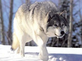 wolf wolve dog hound canine pooch canis bow-wow despicable fellow qen txakurra it gos pas pes hond koer aso koira chien can kutya hundur madra cane suns kelb pies perro mbwa kopek ci anjing srigala