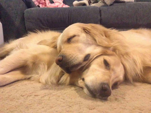 Cute dogs - part 3 (50 pics), golden retriever dogs sleeping