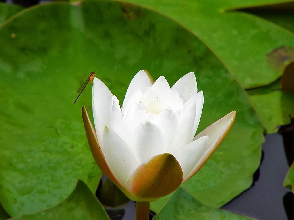 De Witte Waterlelie - Praktijk voor Bewust Zijn