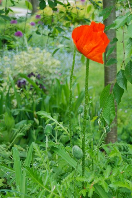 Oriental poppies (Papaver orientalis) are just getting started in Cherry Corner Garden, and all along the Front Walk. They will bloom alongside the purple allium for another bright combination. (This shot looking from the corner towards the Front Walk.)