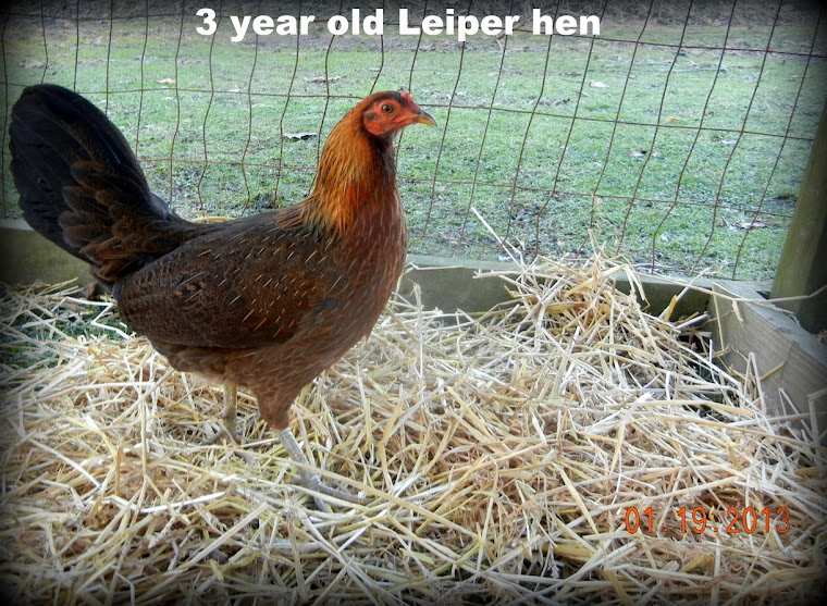 3 year old Leiper hen