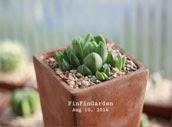 http://finfingarden.blogspot.com/2014/12/haworthia-cymbiformis-cactus-succulent.html