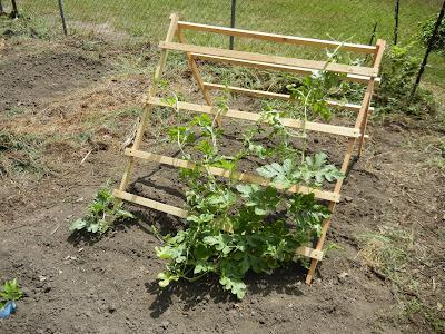 how to grow squash on a trellis